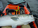 A nice keeper size striper_1