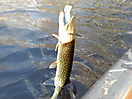 pickerel_1