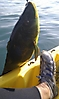 Ballan Wrasse 7.5lb_1