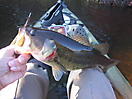 Largemouth Bass_1