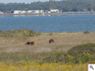 Wild horses on Shackleford