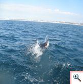 sailfish5