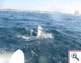 sailfish6